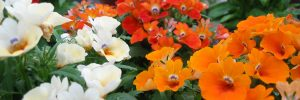Nemesia seedproduction at SeedCare BV, Netherlands