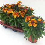 Erysimum Copper Tray