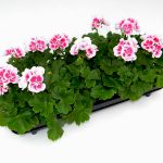 Geranium staand White Splash