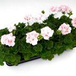 Geranium staand light pink