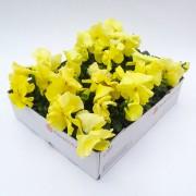Viool citroen geel grootbloemig